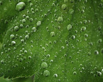 Green leaf with water drops. Macro Royalty Free Stock Images