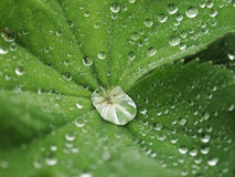 Green leaf with water drops. Macro Royalty Free Stock Photography