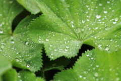 Green leaf with water drops. Macro Stock Photos