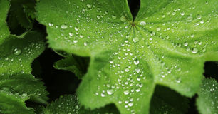 Green leaf with water drops. Macro Royalty Free Stock Image