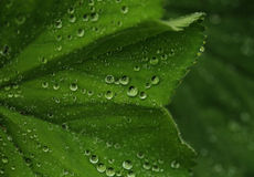 Green leaf with water drops. Macro, close up Royalty Free Stock Photo