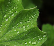 Green leaf with water drops. Macro, summer day Stock Images