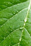 Green leaf with water drops. Selective focus Stock Images