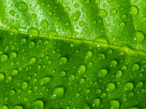 Green leaf with water drops. Stock Images