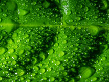 Green leaf with water drops. Royalty Free Stock Photography