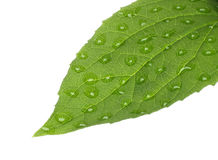 Green leaf with water drops. On white background Stock Photo