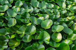 Green leaf water lily background natural floral. Pattern Royalty Free Stock Images