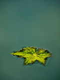 Green leaf in water (puddle) Royalty Free Stock Image