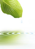 Green leaf with water reflection Royalty Free Stock Image