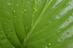 Green leaf. The water is slowly flowing down a large green leaf royalty free stock photo