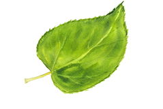Green leaf, watercolor illustrator Royalty Free Stock Photography