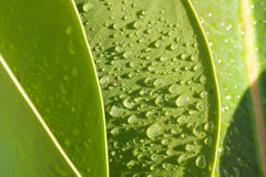 Green leaf - Waterdrops. On green leafs appear dew Stock Photography