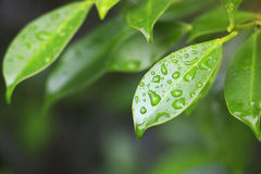 Green leaf with waterdrops Stock Image