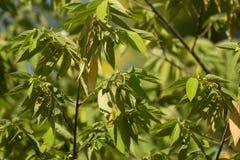 Green leaf of West Indian Cherry. Or Calabura, Jam tree, Jamaican cherry, Malayan Cherry Royalty Free Stock Photos
