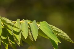 Green leaf of West Indian Cherry. Or Calabura, Jam tree, Jamaican cherry, Malayan Cherry Royalty Free Stock Photography