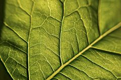 Green leaf whit vein, macro and closeup photography Stock Photography