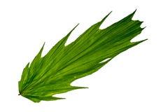 Green leaf on white. Arenga hookeriana Palm, Green leaf isolate on white background royalty free stock image
