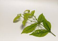 Green leaf. On white background Stock Photos