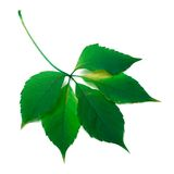 Green leaf. On white background Royalty Free Stock Photos