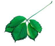 Green leaf. On white background Royalty Free Stock Image