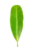 Green leaf. On the white background Stock Photos