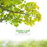 Green leaf  on white background Royalty Free Stock Image
