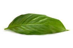 Green leaf on the white. Background Royalty Free Stock Photo