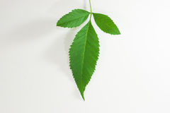 Green leaf. In white background Stock Images