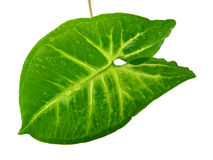 Green leaf white background Royalty Free Stock Photos