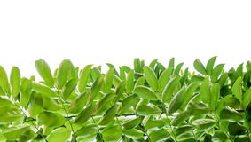 green leaf on white  background Royalty Free Stock Photos