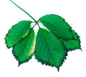 Green leaf on white background Stock Photography