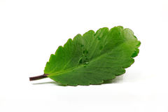 Green leaf on white background. Green leaf isolated on white background Royalty Free Stock Photography