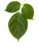 Green leaf on white background Royalty Free Stock Images