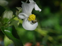 Green leaf white begonia and green bee Royalty Free Stock Images