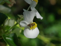 Green leaf white begonia with green bee Stock Photos