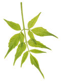 Green leaf. On white isolate background Stock Images
