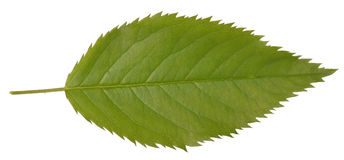 Green leaf. On white isolate background Royalty Free Stock Image