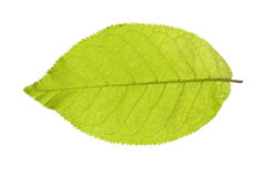 Green leaf on a white Stock Photos