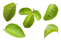 Green leaf on white isolated background with clipping path. A green leaf on white isolated background with clipping path Stock Illustration