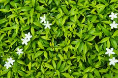 Green leaf with white tiny white flower. Stock Photography