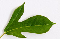 Green leaf on white wall Royalty Free Stock Image