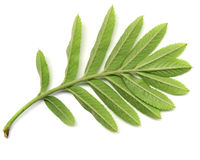 Green leaf of wild ash Royalty Free Stock Photos
