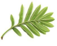 Green leaf of wild ash royalty free stock photos