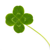 Green leaf wild clover. Isolated on white background stock images
