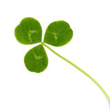 Green leaf wild clover. Green leaf wild trefoil clover isolated on white background stock photos