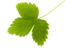 Green leaf of wild strawberry Stock Image