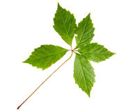 Green leaf of wild vine isolated on white background Royalty Free Stock Photo