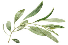 Green leaf willow on white background Royalty Free Stock Images