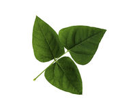 Green leaf of Winged bean isolated Stock Photo