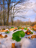 Green leaf in winter snow Royalty Free Stock Photography